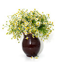 Chamomile isolated on white background in vase Royalty Free Stock Photography