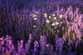 Chamomile in lavender field Royalty Free Stock Photo