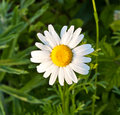 Chamomile  in the meadow Stock Photos