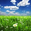 Chamomile meadow Стоковые Изображения