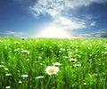 Chamomile meadow Стоковая Фотография