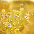 Chamomile plant Royalty Free Stock Photo