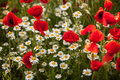 Chamomile and poppy flowers on a field Royalty Free Stock Photo
