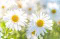 Chamomile selective focus and bokeh close up of with Royalty Free Stock Photography