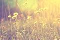 Heřmánek v západ slunce