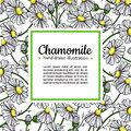 Chamomile vector drawing frame. Isolated daisy wild flower and leaves. Herbal artistic style illustration. Royalty Free Stock Photo