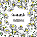 Chamomile vector drawing frame. Isolated daisy wild flower and leaves. Herbal artistic style illustration.