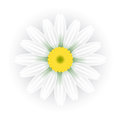 Chamomile vector illustration of daisy flower Stock Photos
