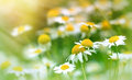 Chamomile wild chamomile daisy flower closeup Royalty Free Stock Images
