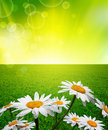 Chamomiles in green grass Royalty Free Stock Photos