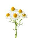 Chamomiles  isolated on white background Royalty Free Stock Photo