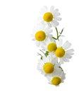 Chamomiles isolated on white background. Matricaria chamomilla Royalty Free Stock Photo