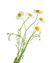 Chamomiles isolated on white background. without shadow Royalty Free Stock Photo