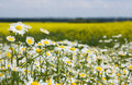 Chamomiles in the rapeseed field Stock Images