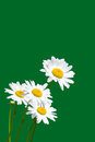 Chamomiles white daisies against green background Stock Images