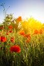 Champ de maïs poppy flowers Photographie stock