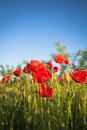 Champ de maïs poppy flowers Images stock