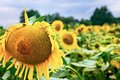 Champ des tournesols Photographie stock libre de droits