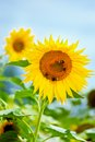 Champ des tournesols Image stock