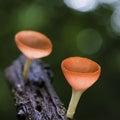 Champagne mushroom Royaltyfri Fotografi
