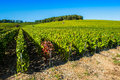 Champagne vineyards in the cote des bar aube area of department near to colombe la fosse ardennes france europe Stock Photography