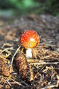 Champignon de couche de Muscaria d'amanite Photographie stock
