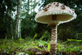 Champignon de couche de parasol Photo stock