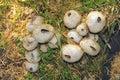 Champignon de couche sauvage Image stock