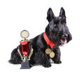 Champion scotch terrier with two gold medals and cup on a white background Royalty Free Stock Images