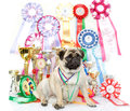 Champion winning dog with medals and cups Royalty Free Stock Photos