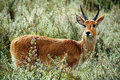 Chandlers mountain reedbuck Royalty Free Stock Photo