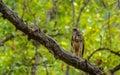 Changeable hawk eagle or crested nisaetus cirrhatus at bandhavgarh national park india Royalty Free Stock Photo