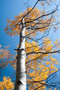 Changing aspen looking up the trunk of an tree at the leaves against a cloudless blue sky in colorado Royalty Free Stock Photo