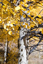 Changing aspen trees details of in colorado Stock Photo