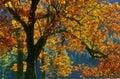 Changing Leaves of Autumn, Yosemite, California Royalty Free Stock Photo