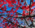 Changing Red Leaves Of A Fall ...