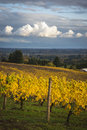 Changing vineyard leaves in fall willamette valley oregon Royalty Free Stock Photography