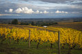 Changing vineyard leaves in fall willamette valley oregon Stock Photography