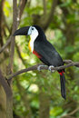 Channel-billed Toucan Royalty Free Stock Photo