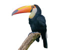 Channel-billed toucan. Isolated