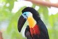 Channel billed toucan ramphastos vitellinus in south america Stock Images