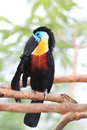 Channel billed toucan ramphastos vitellinus in south america Stock Photo
