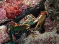 Channel cling crab a in the reef in the florida keys Stock Image