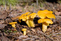 Chanterelle Royalty Free Stock Photo