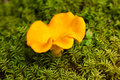 Chanterelle. Royalty Free Stock Images