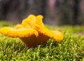 Chanterelle. Royalty Free Stock Photo