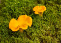 Chanterelle. Stock Photo