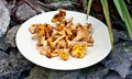 Chanterelle or girolle mushrooms on stones plate of a white plate outdoors gray Stock Photography