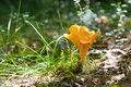 Chanterelle in the grass Stock Photo