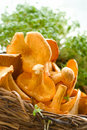 Chanterelles in basket Royalty Free Stock Photo